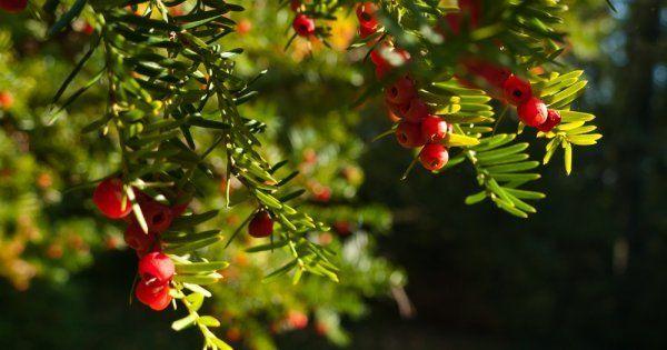 Где растет тис ягодный