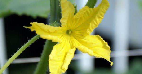 Что делать если огурцы цветут а завязи нет