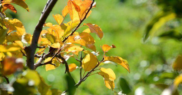 Если у яблони облетают листья