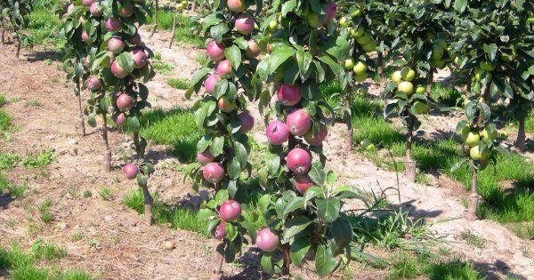 Летние сорта яблонь: колоновидные, для средней полосы России и Сибири, а также фото лучших сортов нежных и сладких яблок с названием и описанием