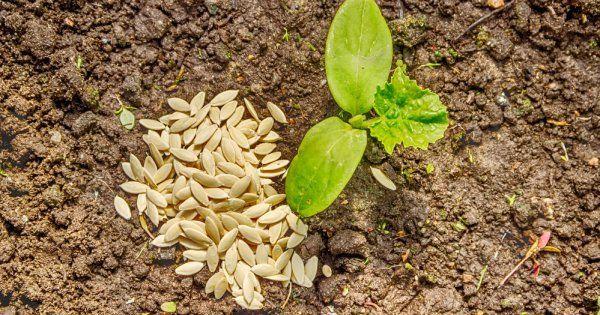Выращивание рассады огурцов в домашних условиях. Сроки посева, подготовка семян и уход за рассадой огурцов до высадки в открытый грунт