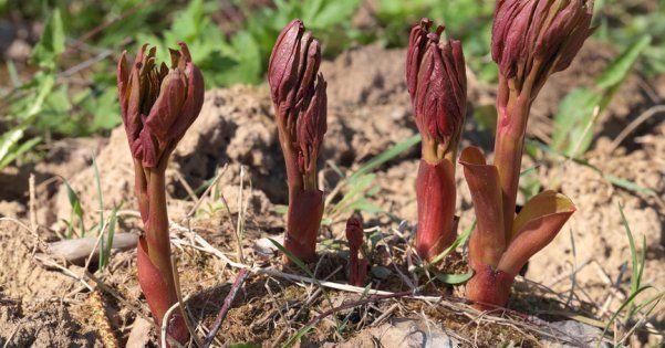 Как правильно посадить пионы осенью в открытый грунт{q}