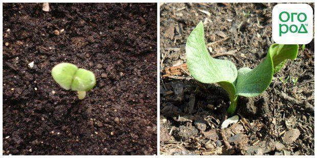 ростки тыквы