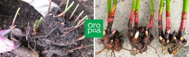размножение деление пионов осенью