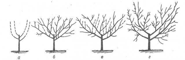 Схема формирования сливы в виде чаши