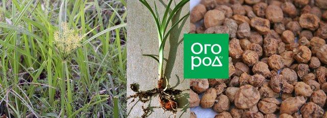 чуфа земляной орех польза выращивание