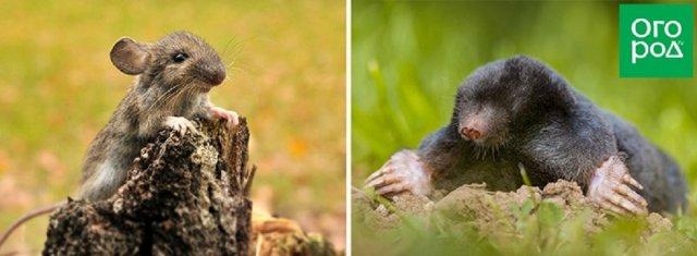 Мышь и крот