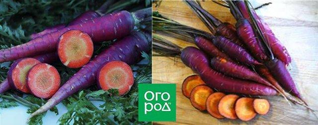 морковь сорт Purple Dragon