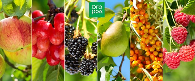 лучшие самоплодные сорта яблоня груша слива черешня алыча абрикос