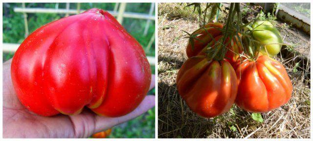 Позднеспелый сорт томата Бычье сердце