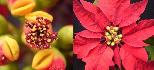 пуансеттия цветы прицветники