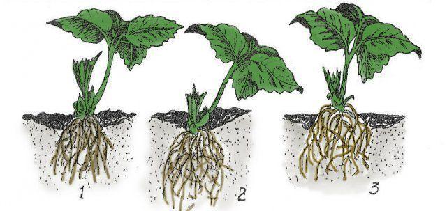 1. Правильная посадка клубники. 2. Кустик посажен глубоко. 3. Растение посажено близко к поверхности почвы