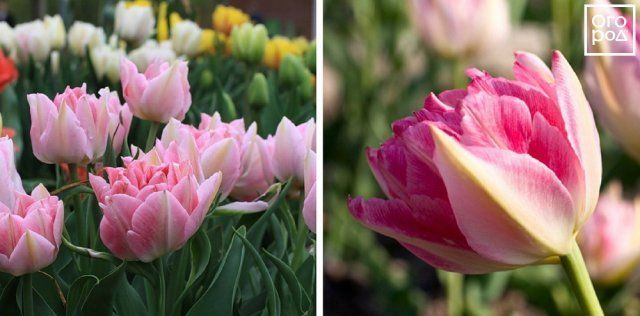 Тюльпаны Peach Blossom