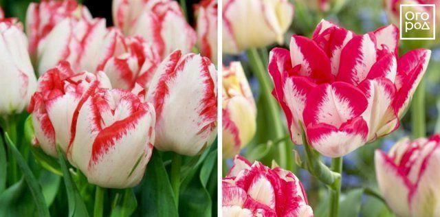 Тюльпаны Cartouche