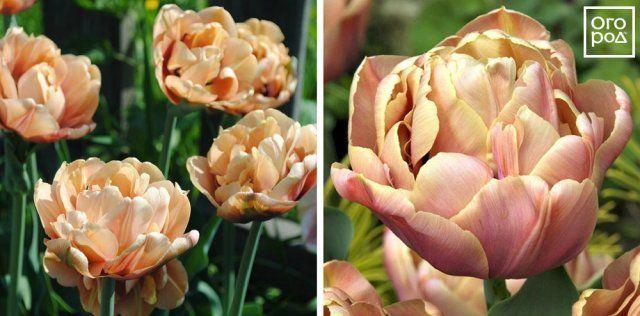 Тюльпаны La Belle Epoque