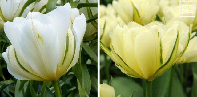Тюльпаны Exotic Emperor
