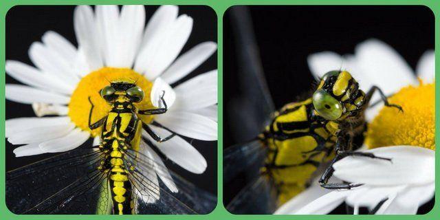 Стрекоза на ромашке в разных ракурсах фото