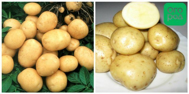 сорт картофеля Аноста