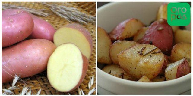 сорт картофеля Ред Скарлетт