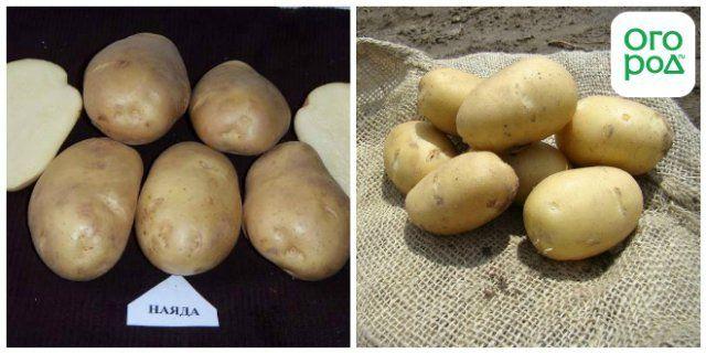 сорт картофеля Наяда