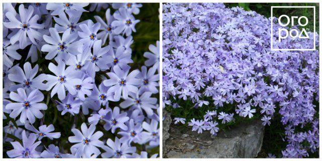 Флокс шиловидный Эрли Спринг Блю (Early Spring Blue)