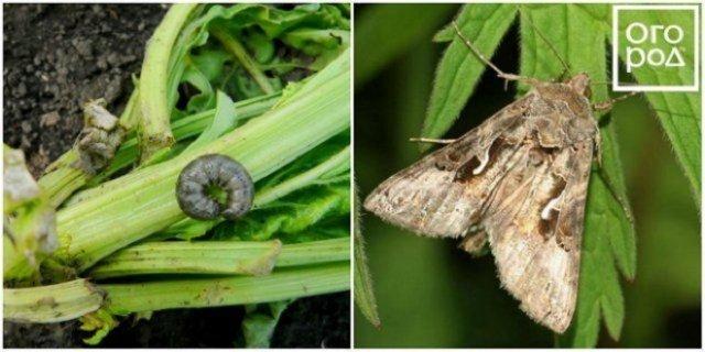 Бабочки-вредители и их гусеницы