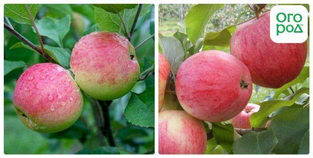 сорт яблок грушовка московская