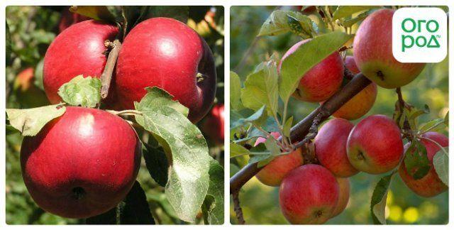 сорт яблок катя