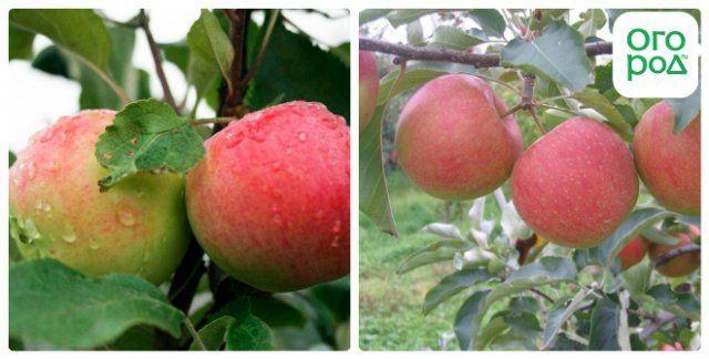 сорт яблок мантет