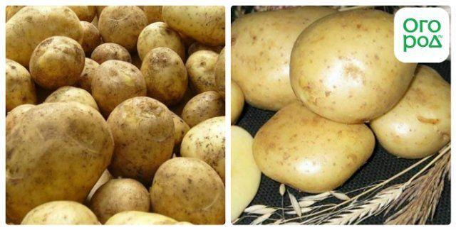 сорт картофеля никулинский