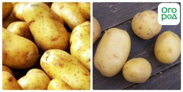 сорт картофеля темп