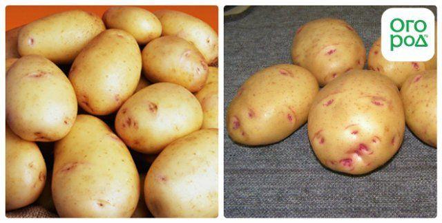 сорт картофеля утро раннее