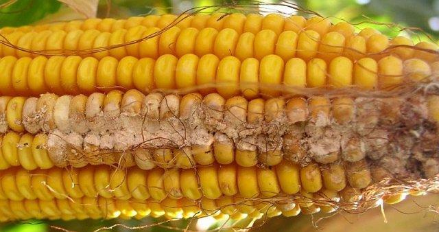Фузариоз початков кукурузы