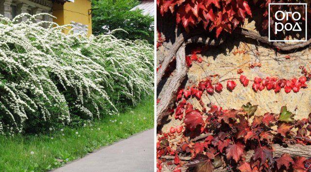 живая изгородь, клумба, цветы, сад