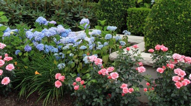 розы на клумбе рядом с гортензиями