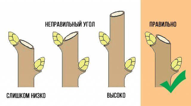 Схема правильной обрезки ветки на почку