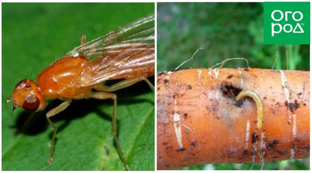 Морковная муха и ее личинки