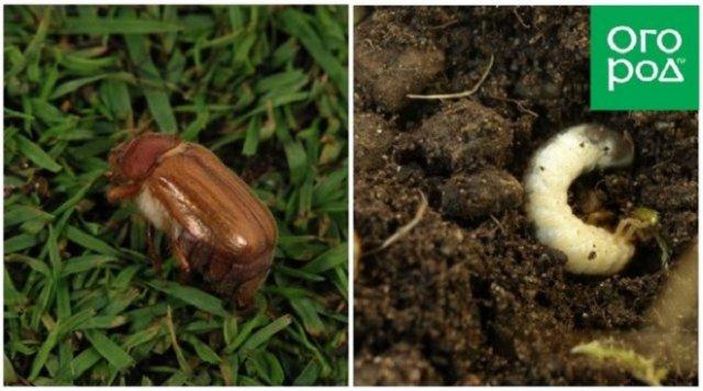 Майский жук (хрущ) и его личинки-бороздняки