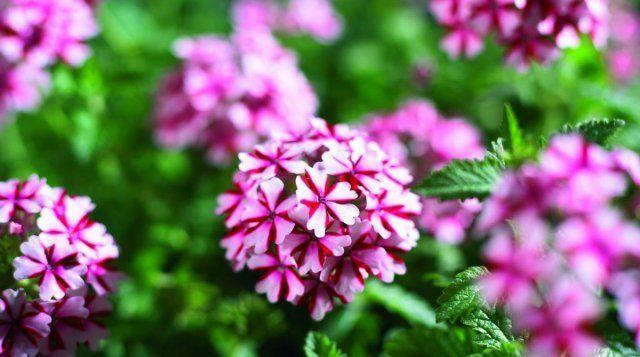 Вербена гибридная отличается ростом 20-40 см и зонтиковидными соцветиями, в которых собрано до 50 цветков