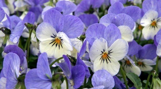 Виола рогатая Azure Wing цветет с апреля до самых заморозков