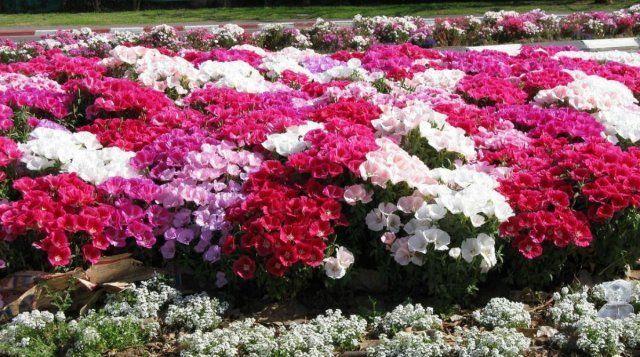 В садах чаще всего выращивают годеции прелестную и крупноцветковую