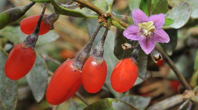 Дереза китайская цветет практически весь сезон