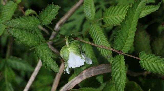У малины соблазнительной красивые зубчатые листья