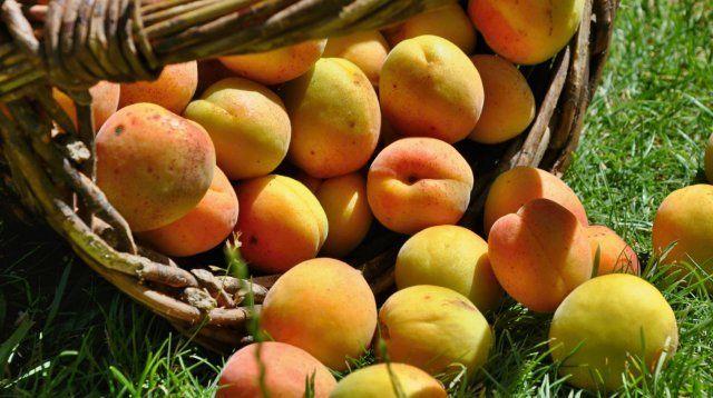 Урожай абрикосов может радовать даже в средней полосе