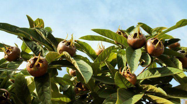 Мушмулу германскую можно выращивать в средней полосе, в отличие от мушмулы японской