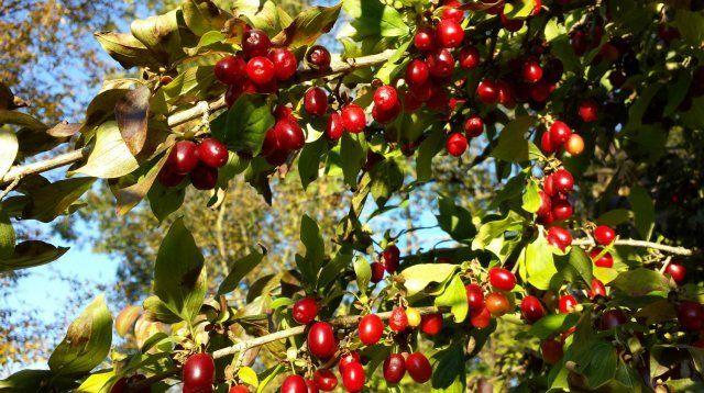 Плоды кизила вкусны и полезны