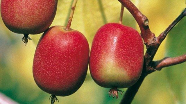 Можно ли выращивать киви в средней полосе россии?