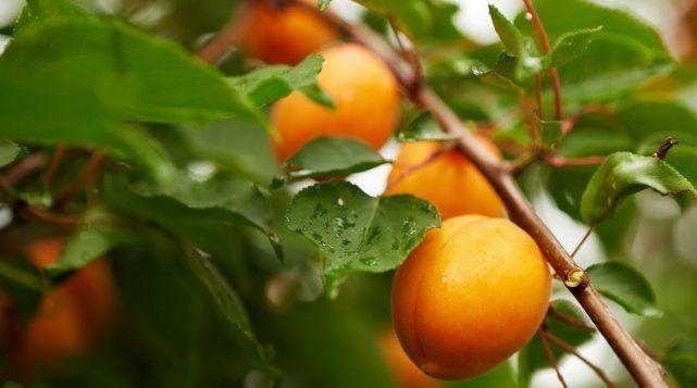 Абрикос считается одним из самых распространенных в средней полосе южных деревьев