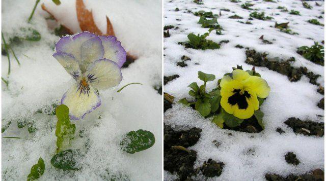 Виолам не страшны ни возвратные весенние заморозки, ни осенние похолодания