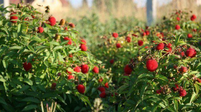 Малину земляничную можно выращивать как живую изгородь